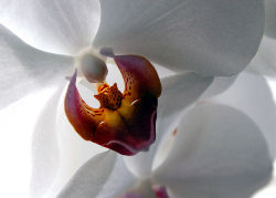 WhiteOrchid-s